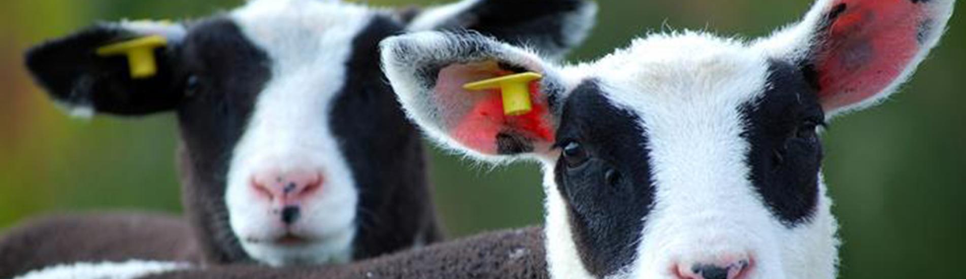 rfid animal tag
